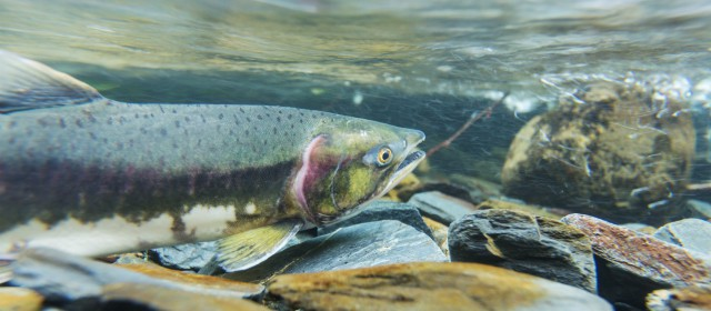 Helpful info for salmon fishing in oregon this summer for Salmon river ny fishing regulations