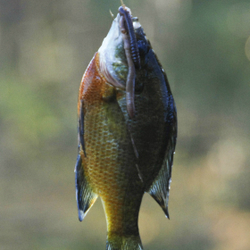 Pee Dee Redbreast, South Carolina's Favorite Sun (fish)
