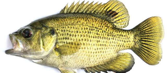 A few important freshwater fish identification tips for Texas freshwater fish limits