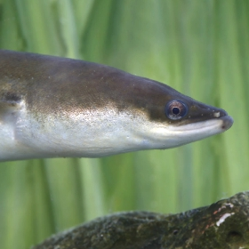 freshwater eel fish in the water