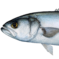 List of Most Common Saltwater Fish