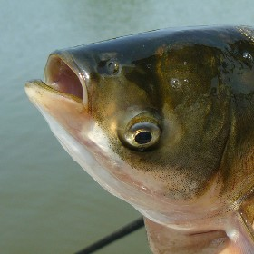 Potential for Asian Carp in Great Lakes Could Cause Problems