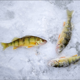 3 Ice Fishing Tips for Perch