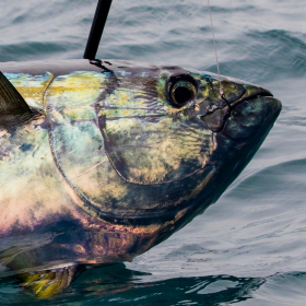 catching a yellowfin-tuna