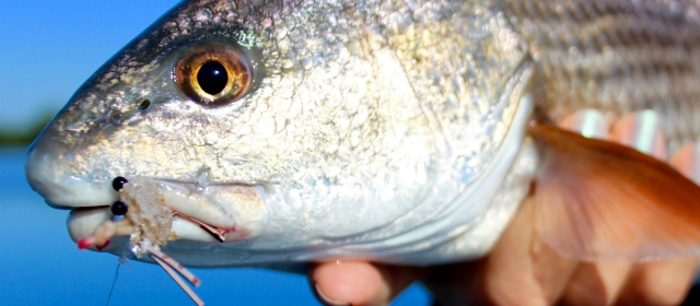 6 louisiana redfish fishing tips for first timers for Buy ohio fishing license online