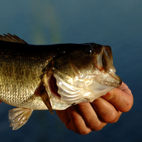 How To Chum For Bass