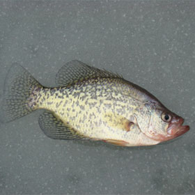 Crappie. Not Available in Stores