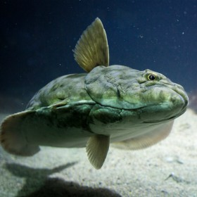 image of a halibut underwater