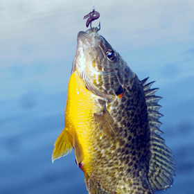 Tips for  how to catch bluegill