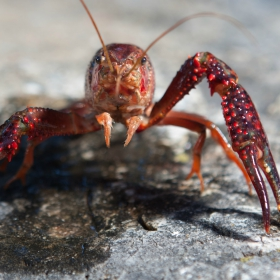 Where to Catch Crawfish in Southern California