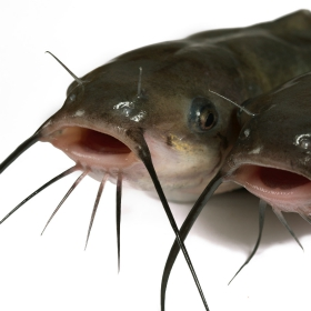 12 Fundamental Channel Catfish Fishing Tips