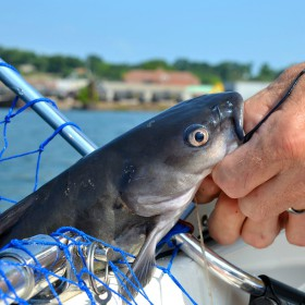 angler holding a catfish by his mouth