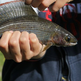 4 tips on how to catch Artic grayling