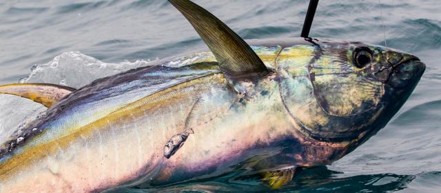 5 tuna fishing season facts you need to know best for Tuna fishing season