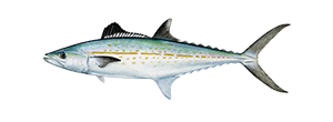 Cero Mackerel