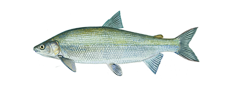 Lake Whitefish