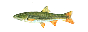 Northern Pikeminnow