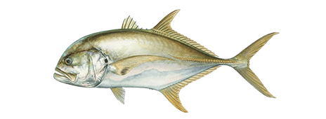 Pacific Crevalle Jack