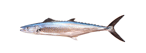 Pacific Sierra Mackerel