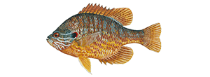 Pumpkinseed Sunfish