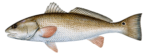 Redfish Drum